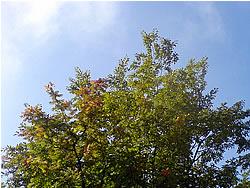 色づき始めた7条緑道のななかまど。秋ですなー。